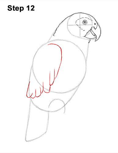 How to Draw African Congo Grey Parrot Bird 12