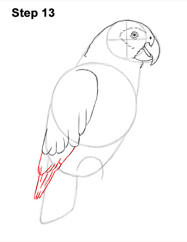 How to Draw African Congo Grey Parrot Bird 13
