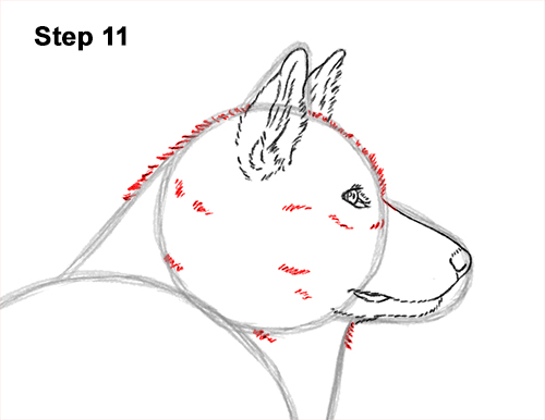 How to Draw an Alaskan Malamute Puppy Dog Side View 11