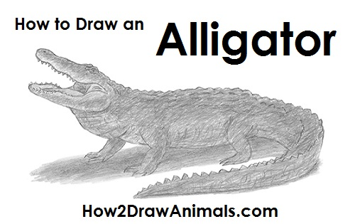 Draw Alligator