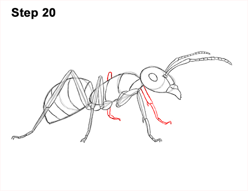 How to Draw Carpenter Pavement House Ant Insect Bug 20