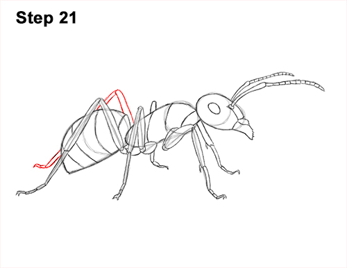 How to Draw Carpenter Pavement House Ant Insect Bug 21