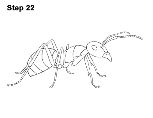 How to Draw Carpenter Pavement House Ant Insect Bug 22