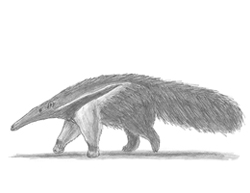 How to Draw a Giant Anteater