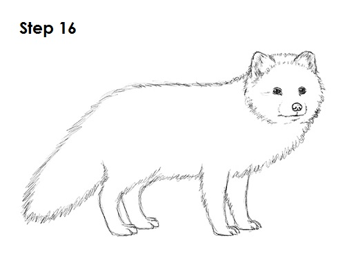 Draw Arctic Fox 16