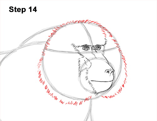 How to Draw an Olive Chacma Baboon Monkey Walking 14