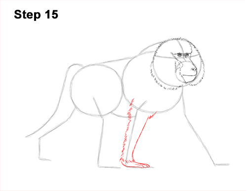How to Draw an Olive Chacma Baboon Monkey Walking 15