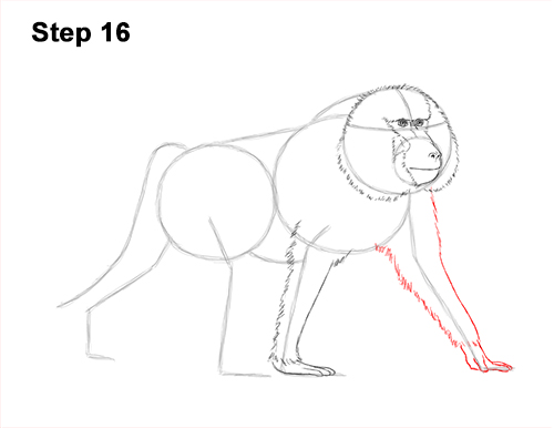 How to Draw an Olive Chacma Baboon Monkey Walking 16