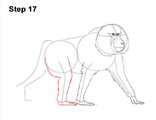 How to Draw an Olive Chacma Baboon Monkey Walking 17