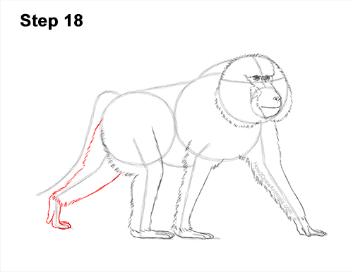 How to Draw an Olive Chacma Baboon Monkey Walking 18