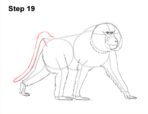 How to Draw an Olive Chacma Baboon Monkey Walking 19