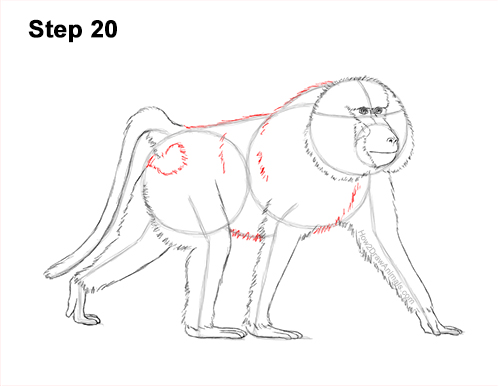 How to Draw an Olive Chacma Baboon Monkey Walking 20
