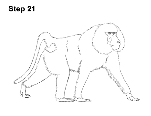 How to Draw an Olive Chacma Baboon Monkey Walking 21