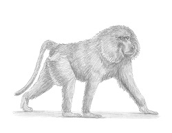 How to Draw an Olive Chacma Baboon Side