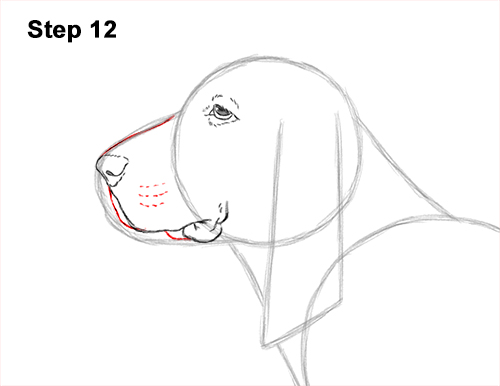How to Draw a Basset Hound Puppy Dog Side View 12