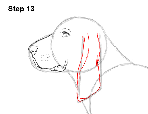 How to Draw a Basset Hound Puppy Dog Side View 13