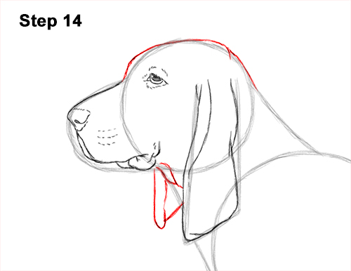 How to Draw a Basset Hound Puppy Dog Side View 14