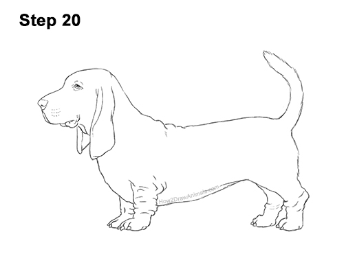 How to Draw a Basset Hound Puppy Dog Side View 20