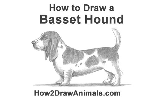 How to Draw a Basset Hound Puppy Dog Side View