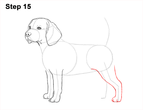 Draw Beagle Dog 15