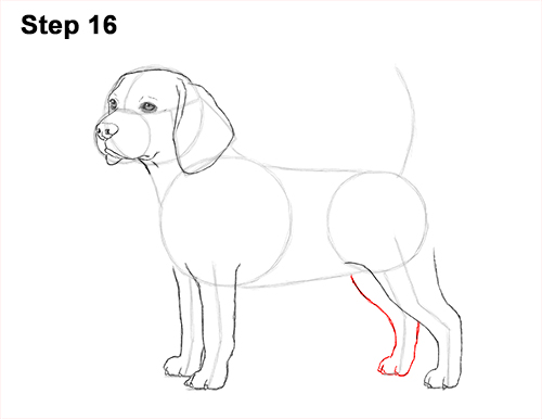 Draw Beagle Dog 16
