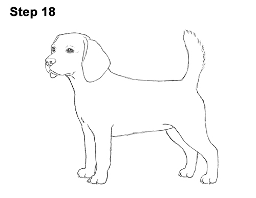 Draw Beagle Dog 18