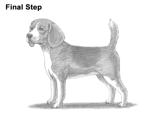 Draw Beagle Dog