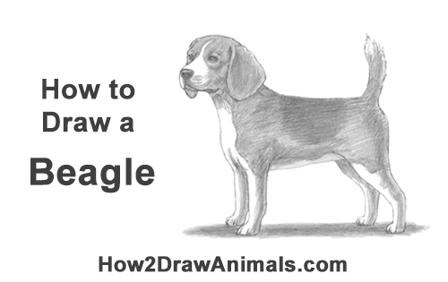 How to Draw a Beagle Dog