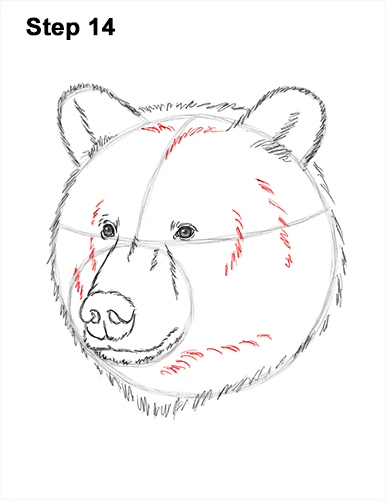 How to Draw a Grizzly Brown Bear Head Portrait 14