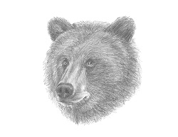 How to Draw a Grizzly Brown Kodiak Bear Head Detail Portrait Face