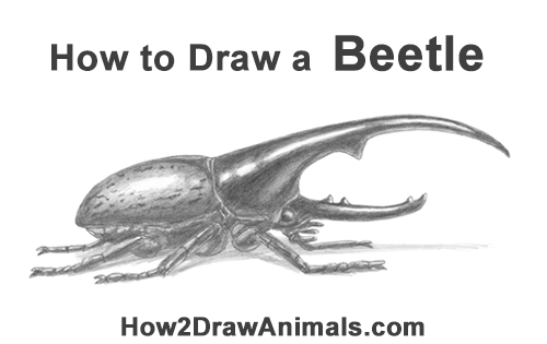 How to Draw a Hercules Rhino Beetle Bug