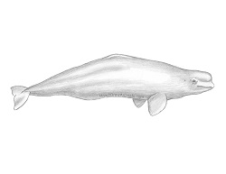 How to Draw a Beluga White Whale