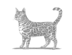 How to Draw a Cat Kitten Kitty Bengal