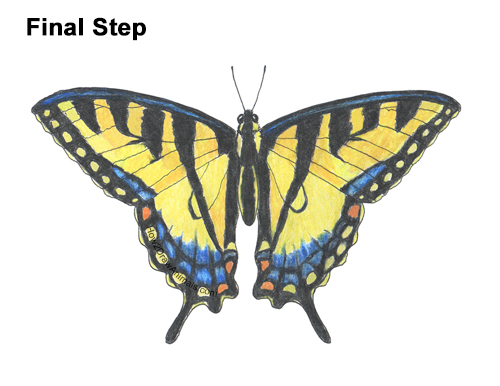 How to Draw a Yellow Eastern Tiger Swallowtail Butterfly
