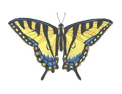 How to Draw a Tiger Swallowtail Butterfly Color