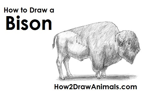 Draw Bison