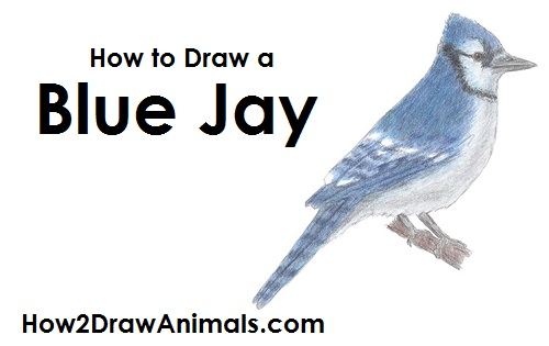 Draw a Blue Jay Bird