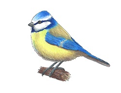 How to Draw a Blue Tit Bird Color