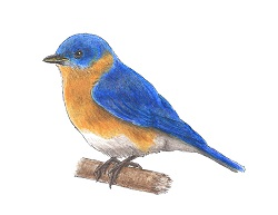 How to Draw a Bluebird Bird Color
