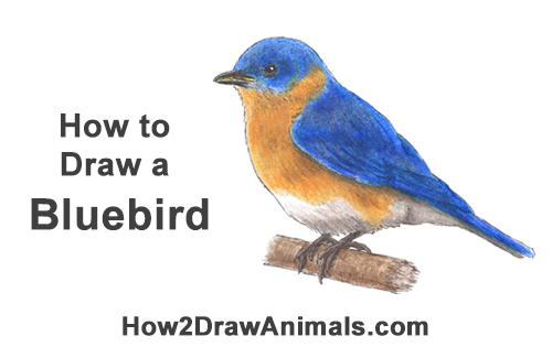 How to Draw Eastern Western Bluebird Bird Color