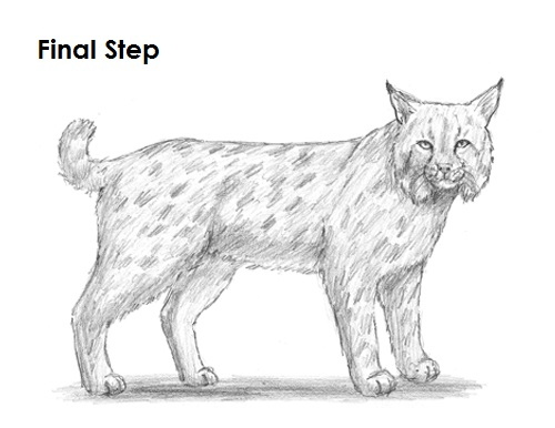 Draw Bobcat Final