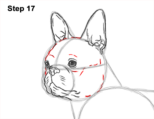 How to Draw a Boston Terrier Puppy Dog 17