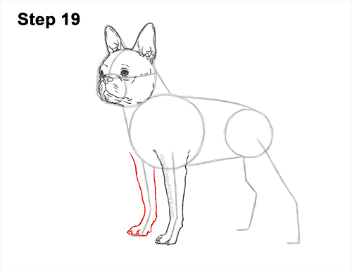 How to Draw a Boston Terrier Puppy Dog 19