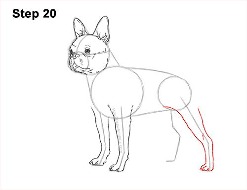 How to Draw a Boston Terrier Puppy Dog 20