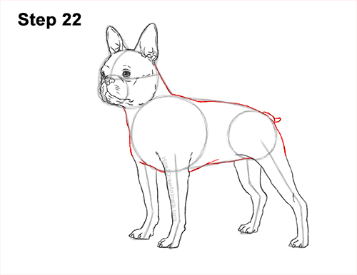 How to Draw a Boston Terrier Puppy Dog 22