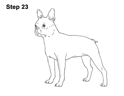 How to Draw a Boston Terrier Puppy Dog 23