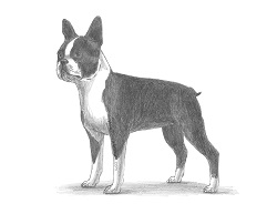 How to Draw a Boston Terrier Puppy Dog