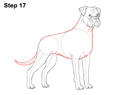 Draw Boxer Dog 17
