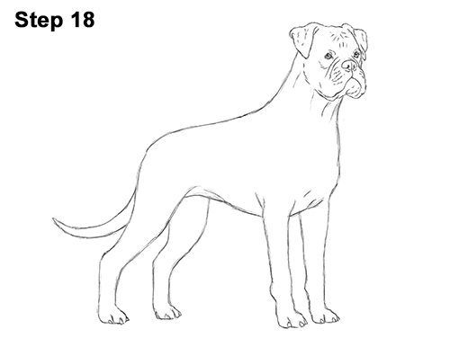 Draw Boxer Dog 18