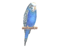 How to Draw a Budgie Parakeet Budgerigar Blue